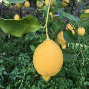 Citron 10 ml